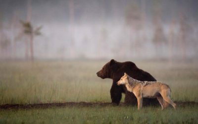 Quand un ours et un loup collaborent
