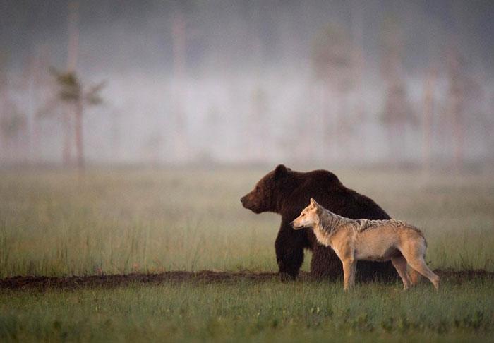 Quand un ours et un loup collaborent